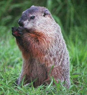 Groundhog sitting up in green grass nibbling on something that looks like a nut.