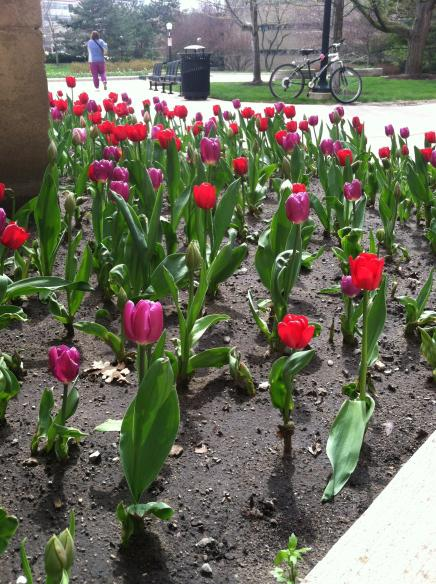 Pink and red tulips in a garden on a sunny day on campus