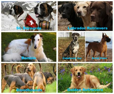 Seven pictures: Top left is two white and brown st. Bernard's withstrapped to them. There are mountains and blue red cross supplies. Middle left is white and brown borzoi with long hair laying in the grass. Bottom left is a group of brown and black bloodhounds sniffing in grass. Top right is a black, gold, and brown Labrador retriever, center photo is a catahoula hur with short black hair sitting in a pile of brown leaves. middle right is a Great Dane on the beach, bottom right is a golden retriever